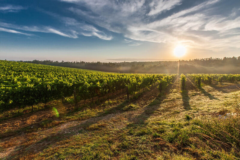 -absolutely_free_photos-original_photos-grape-field-at-sunrise-2200x1467_19967 (1)