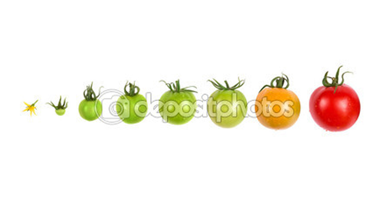 depositphotos_92156138-Tomato-growth-evolution-progress-set