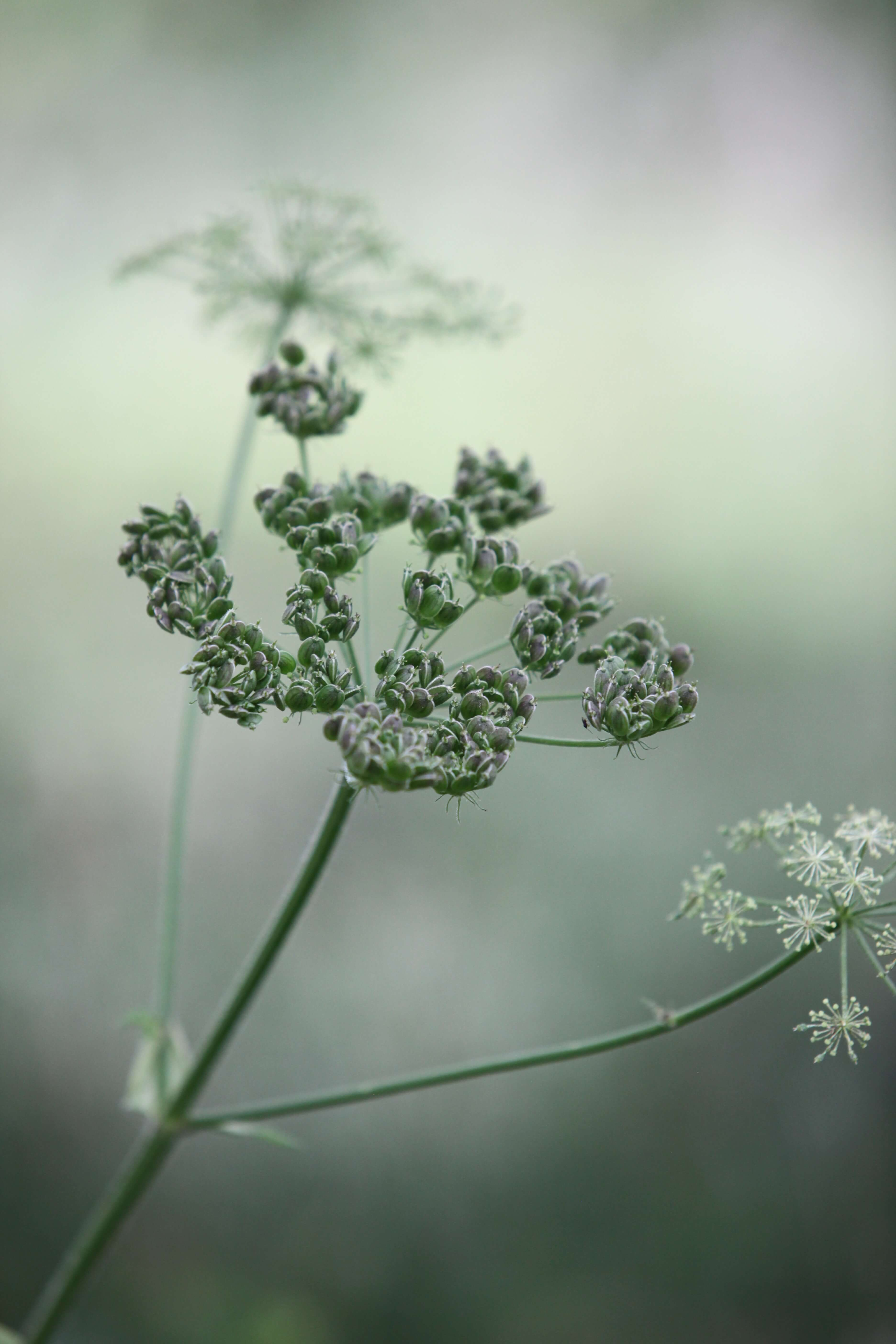 cow-parsley-428720