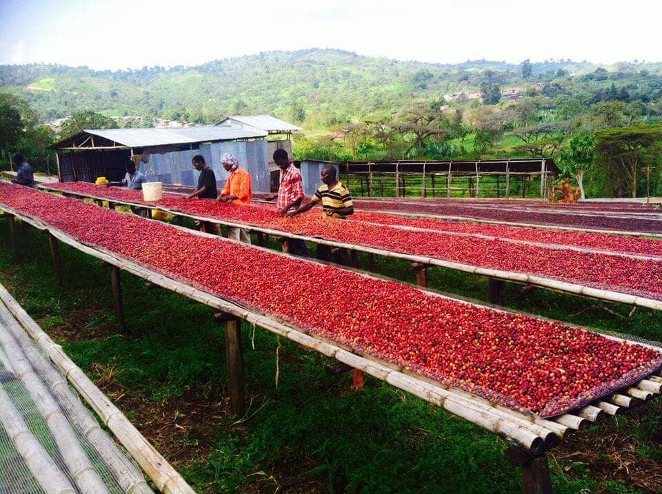 Sun Drying Ripe Cherry Beans on Bed