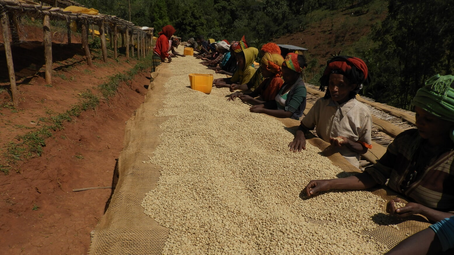Sun Drying Washed Coffee Beans
