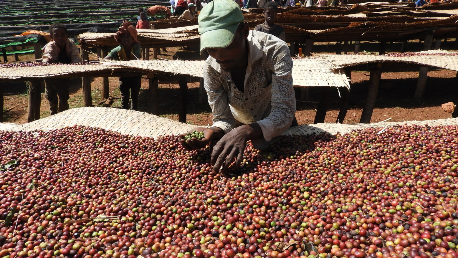 Sun Drying Unwashed Coffee Beans