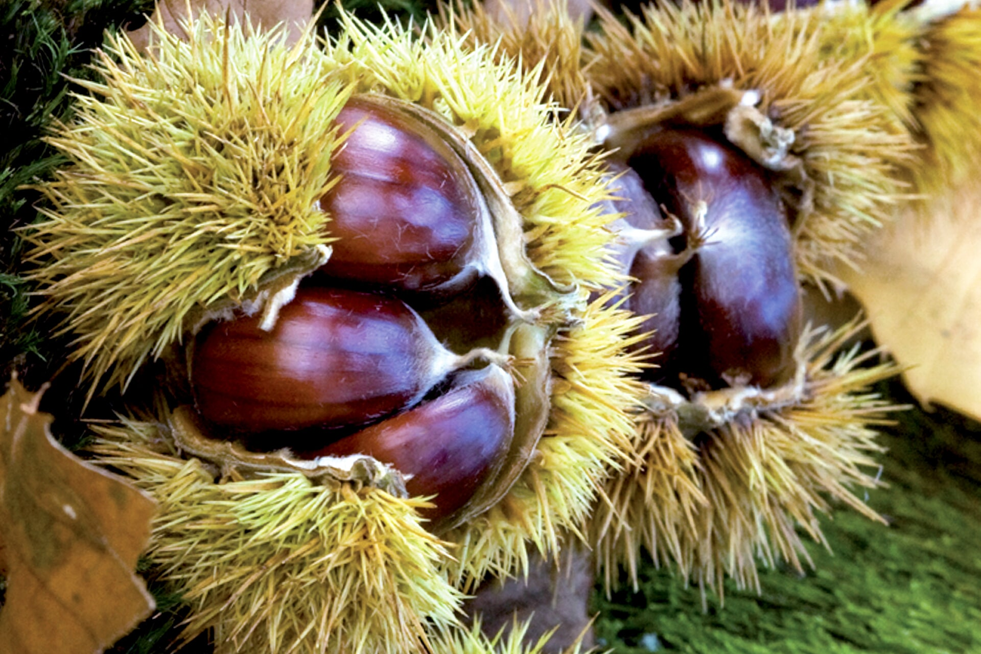 curly chestnuts